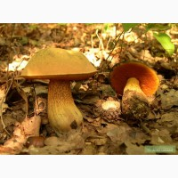 Мицелий грибов: Дубовик оливково-бурый (поддубник, поддубовик, синяк), Чесночник