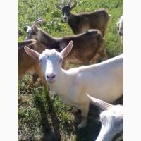 Продам коз и козенят
