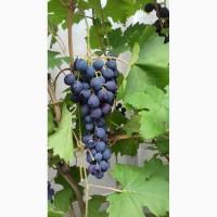 Продам виноград оптом с куста