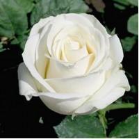 Купить саженцы роз из питомника