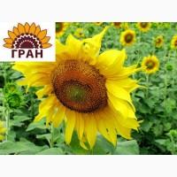 НКФ «ГРАН» пропонує насіння гібриду соняшнику Дозор (посівний матеріал)