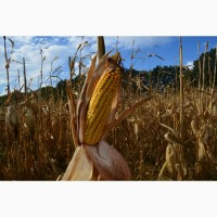 Семена гибрида кукурузы Мартиника ФАО - 330
