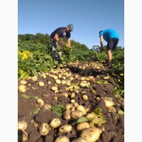 Продам картоплю Рів#039;єра