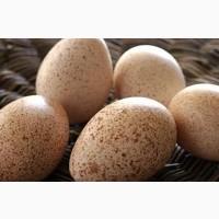 Инкубационное индюшиное яйцо БИГ 6 БЮТ 8