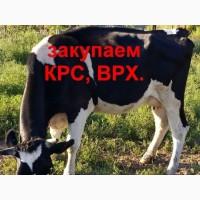 Закупаю коров любой упитанности, любого веса