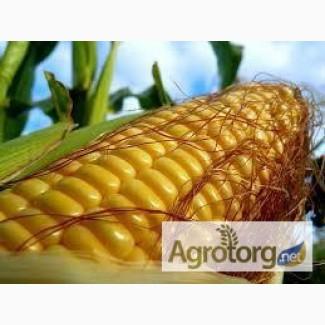 Семена кукурузы Оржица 297 МВ
