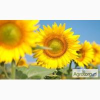 Семена подсолнечника Сонячний настрій, Гібрид під гранстар, купить подсолнечник Черкассы