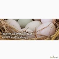 Продам яйця качині інкубаційні СТАР53