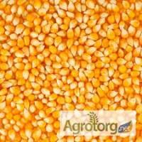 Предприятие переработчик закупает кукурузу