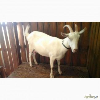 Племенные козлята зааненской породы продажа/обмен