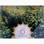 Подсолнечник посевной материал Аракар под евролайтинг семена 2017