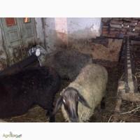 Гиссарские бараны