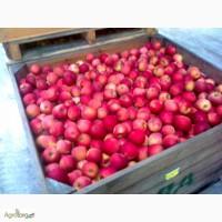 Продам яблоки оптом по цене 3 грн на переработку