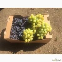 Виноград (Кишмиш Юпитер, Преображение)