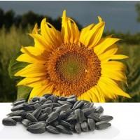 Ультраранній гібрид соняшнику Українське сонечко