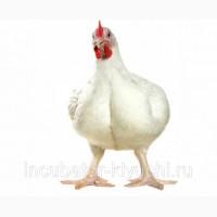 Цыплята бройлеры КОББ-500, от производителя Чехия Польша