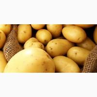 Покупаем картофель оптом на постоянной основе
