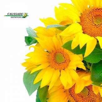 Соларни КС– французкий гибрид подсолнечника, 95-102 дня. высокая масличность