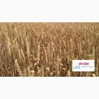 Яровая пшеница Алатус (Штрубе)-засухостойкая