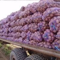 Картопля товарна Ривьера та посадка