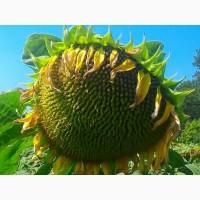 Семена подсолнечника нс-х-7370 под гранстар