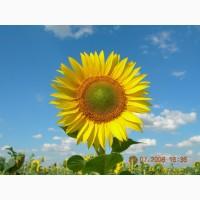 Насіння соняшнику, гібрид Мачете, , іноземної селекції, стійкий до євро-лайтнингу