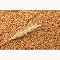 Покупка пшеницы, оптом, без посредников