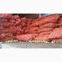 Ривьера (семенной картофель) 2-ая репродукция Винница, 12 грн/кг
