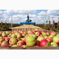 Куплю яблука на переробку Вінницька, Хмельницька, Тернопільська, Івано-Франківскі обл