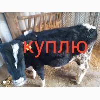 Срочно куплю быков коров тёлок в любых количествах ( дорого!)