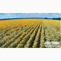 Семена подсолнечника, гибрид F1 Оскил. для зон тяжелого земледелия