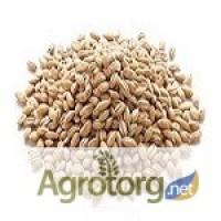 Семена канадского ячменя. Продажа от 500 кг