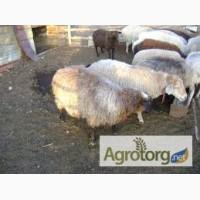 Продам овец (взрослые и молодняк)