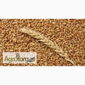 Куплю оптом кукурузу в базе, фураж пшеницу 1, 2, 3 класса