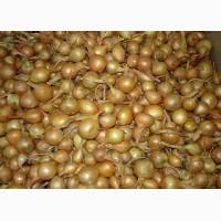 Продам собственный озимый лук севок сортов Штутгарт и Сноуболл всех калибров урожай 2017 г
