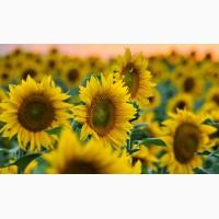 Насіння соняшнику Толедо, Барса, Карат, Нео, Осман, Армагедон та інші
