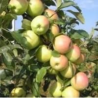 Продам Яблука сорту Дельбарестівале