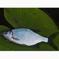 Куплю оптом без посредников речную рыбу свежую, охлажденную. Самовывоз