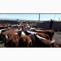 Куплю телят бычков сементалов, блэк-ангусов, шароле, лимузин от 100 кг-до 300 кг