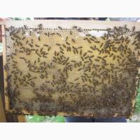 Бджолопакети Карпатської породи високої якості2019