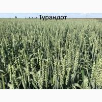 Семена озимой пшеници Турандот 1реп. (Чехия)