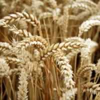 Озима пшениця Єсенія, безоста, супереліта 50кг