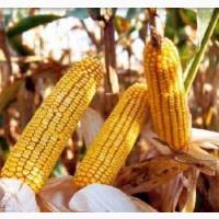 Насіння кукурудзи ДН Аджамка