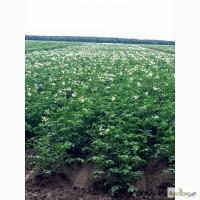 Продаю Насіннєву картоплю / Семенной картофель Качество