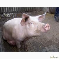 Купляємо свиней