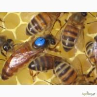 Продаю пчелопакеты, пчелосемьи