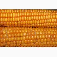 Закупка кукурузы.Крупный Опт.Качество ДСТУ