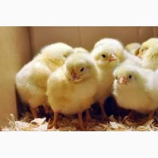 Цыплята Доминант, Фокси Чик, Мастер Грей от производителя