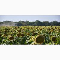 Семена подсолнечника Аракар. под евролайтинг