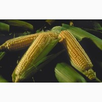 Семена неприхотливого раннего гибрида кукурузы РАМ 1033